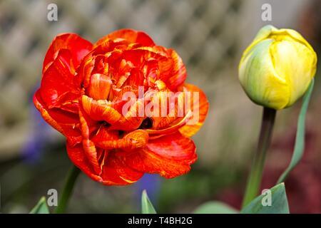 "Tulip Sun Lover ""The Chameleon Tulip"" - Stock Photo"