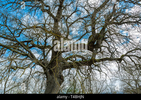 secular oak tree, Abruzzo - Stock Photo