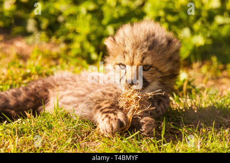 Cheetah Cub ( Acinonyx jubatus ) Lying On Grass - Stock Photo