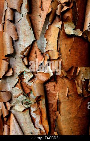Zimtahorn, Acer griseum - Stock Photo