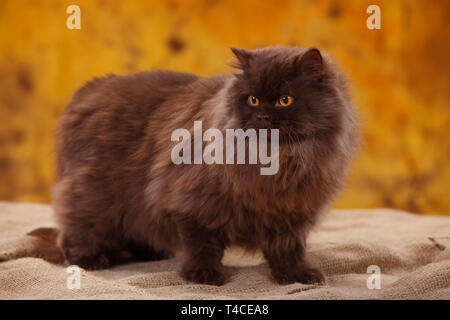British Longhair Cat, tomcat, chocolate - Stock Photo