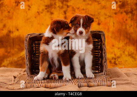 Australian Shepherd, puppy, 8 weeks, red tri