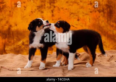 Australian Shepherd, puppy, 8 weeks, black tri - Stock Photo