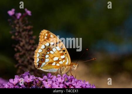 high brown fritillary, (Argynnis adippe) - Stock Photo