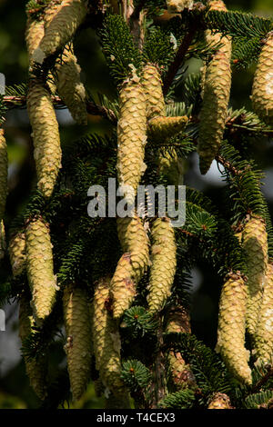 norway spruce, cones, (Picea abies) - Stock Photo