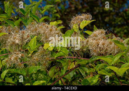 old man's beard, (Clematis vitalba) - Stock Photo