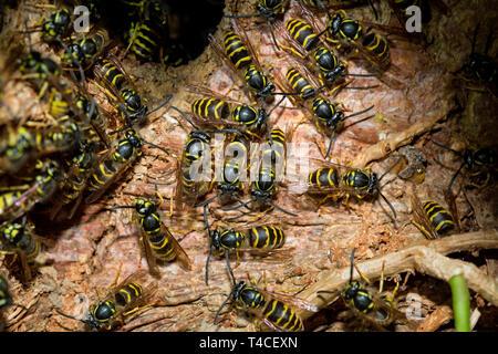common wasps, (Vespula vulgaris) - Stock Photo