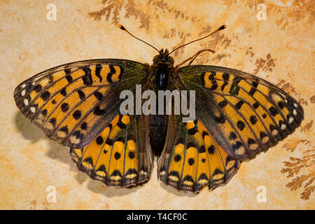 dark green fritillary, (Argynnis aglaja) - Stock Photo
