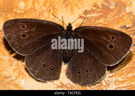 ringlet, (Aphantopus hyperantus) - Stock Photo
