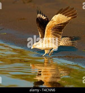 Yellow-headed caracara (Milvago chimachima) on the water, Costa Rica - Stock Photo