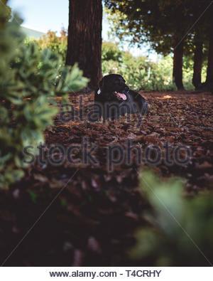 black Labrador retriever sitting on dried leaves near trees during daytime - Stock Photo