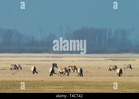 herd of conik horses on a pasture in winter - Stock Photo