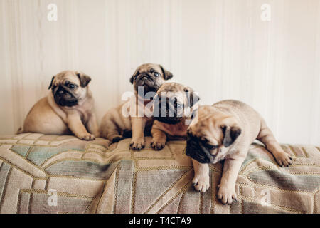 Pug dog puppies sitting on couch at home. Little puppies having fun. Breeding dogs - Stock Photo