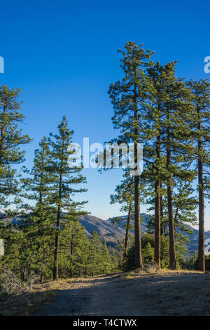Morning light and shadows shine on tall green pine trees. - Stock Photo