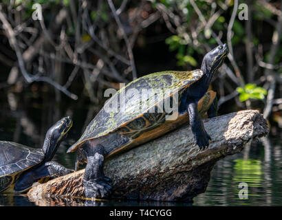 Two turtles sunbathing on a log in the Rainbow river, Dunnellon Florida - Stock Photo