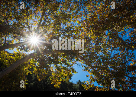 Sunstar light shines through green and golden tree leaves. - Stock Photo