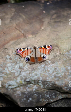 European peacock butterfly Aglais io with wings outstretched on a warm stone heated by sunshine viewed from the dorsal side. - Stock Photo