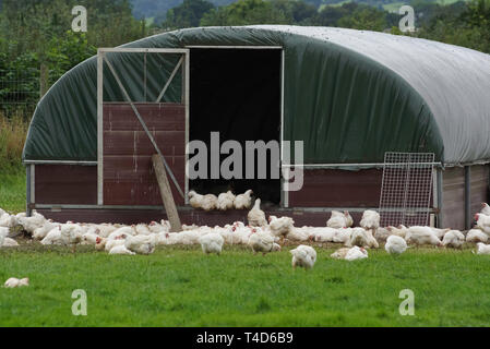 Organic free range chickens outside a chicken shed being allowed to live a more natural life in the outdoors - Stock Photo
