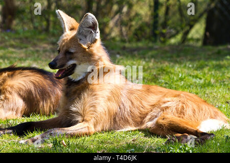 The Maned Wolf, Chrysocyon brachyurus is the largest canid of South America. This mammal lives in open and semi-open habitats, especially grasslands w - Stock Photo