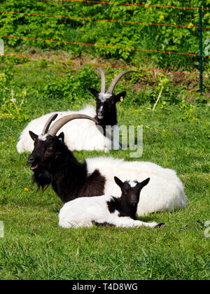 Black and white Bagot goat with kids inn a grassy paddock. The nanny goat has full horns and the young kids show small horn buds. with full horns. - Stock Photo