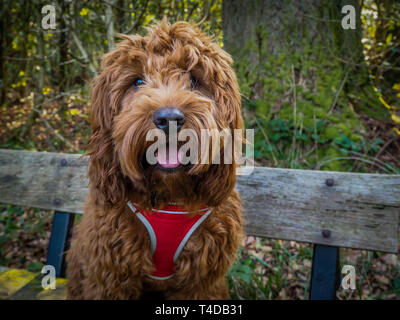 A young cockapoo sitting on a bench in the woods near Aberfoyle in the Trossachs National Park - Stock Photo