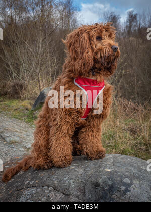 A young cockapoo sitting on a rock in the woods near Aberfoyle in the Trossachs National Park - Stock Photo