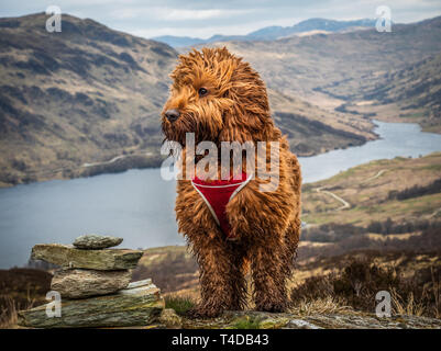 A young cockapoo standing near a cairn above Loch Finglas in the Trossachs National Park - Stock Photo