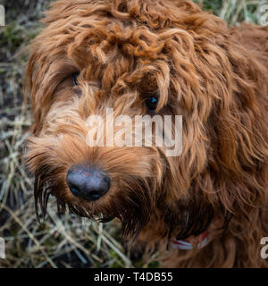 A young cockapoo sitting patiently whilst it is photographed in the woods near Aberfoyle in the Trossachs National Park - Stock Photo