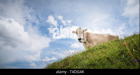 Brown mountain cows grazing on an alpine pasture in the Bernese Alps in summer. Grindelwald, Jungfrau region, Bernese Oberland, Switzerland - Stock Photo
