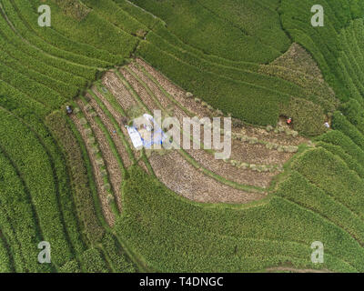 Farmers harvesting and peeling paddy in the field, shot from above - Stock Photo