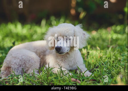 White poodle dog lay on grass in house backyard - Stock Photo