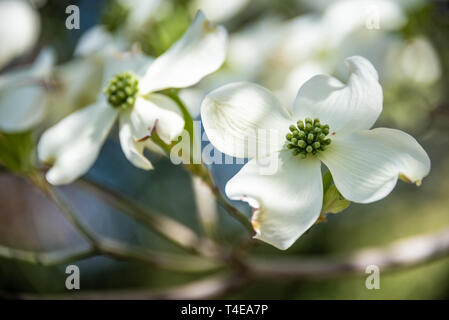 Beautiful white dogwood blossoms announce the coming of spring in Atlanta, Georgia. (USA) - Stock Photo