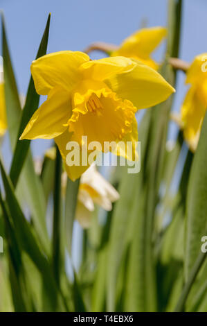 A fresh yellow daffodil (narcissus) is flowering under a blue sky on a sunny day in spring. - Stock Photo