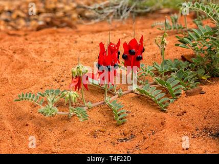 Swainsona formosa, Fabaceae, flower emblem of South Australia often found in the desert. - Stock Photo