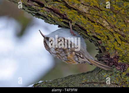 Eurasian treecreeper sitting on a tree bark - Stock Photo