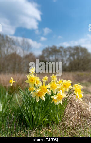 A beautiful bunch of yellow daffodils in a natural environment. - Stock Photo