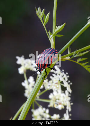 Striped bug or Minstrel bug, Graphosoma lineatum. a species of shield bug in the family Pentatomidae - Stock Photo