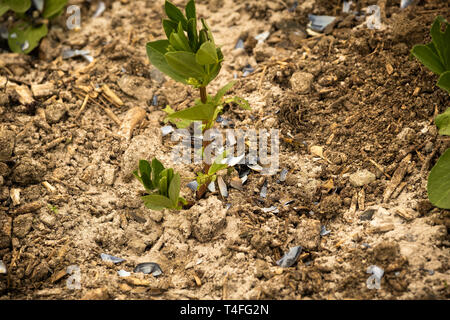 Vegetable gardening in the UK - young broad bean plants in a raised bed on an allotment garden surrounded by a dusting of fresh wood ash and crushed mussel shells to protect them from being eaten by slugs - Stock Photo