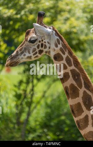 Rothschild giraffe in detail - Stock Photo