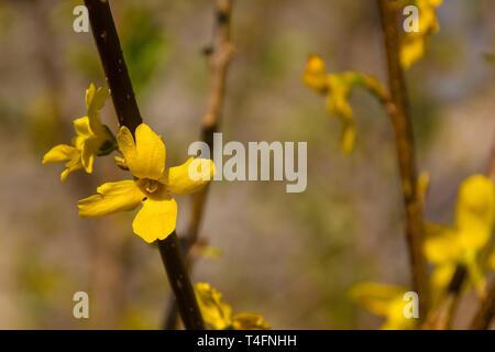 Bright yellow flowers on a forsythia lynwood shrub - Stock Photo