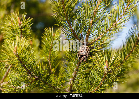 pine cone on green pine branch in the woods, young pine cone - Stock Photo