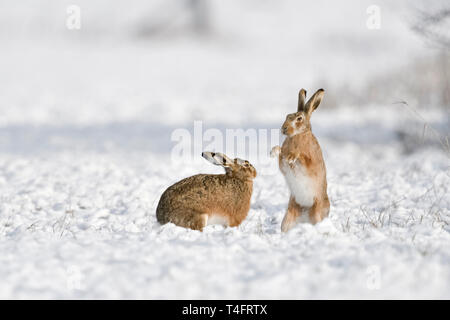 Brown Hare / European Hares / Feldhasen ( Lepus europaeus ) in winter, two hares playing, fighting in snow, wildlife, Europe. - Stock Photo