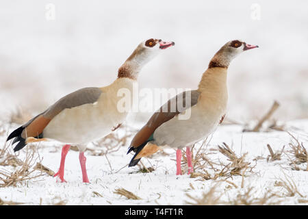 Egyptian Geese / Nilgaense (Alopochen aegyptiacus), pair, couple in winter, showing aggressive behaviour, defending their territory, together, wildlif - Stock Photo