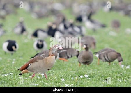 Egyptian Goose / Nilgans (Alopochen aegyptiacus), invasive species in winter, in front of wintering nordic / arctic geese, walking over farmland, wild - Stock Photo