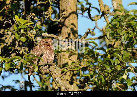 Little Owl / Minervas Owl / Steinkauz ( Athene noctua ) perched over day in an old pear tree, sunbathing, calling, well camouflaged, wildlife, Europe. - Stock Photo