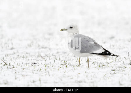 Mew Gull / Sturmmoewe ( Larus canus ) in winter, sitting on snow covered farmland, young bird in second winter, wildlife, Europe. - Stock Photo