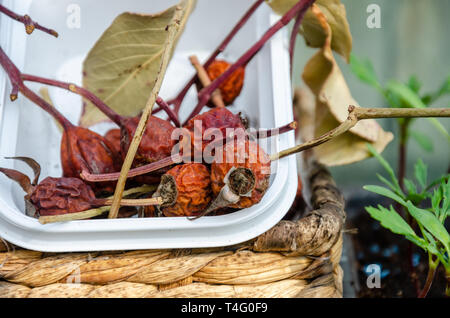 Dried rose seed heads in a tub on a shelf in a greenhouse - Stock Photo