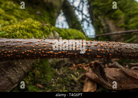 Coral spot fungus, Nectria cinnabarina, on a stick on the forest floor, UK - Stock Photo
