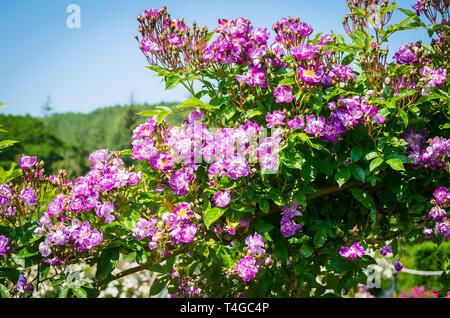 Rambling rose Rosa Kew Rambler flowering in June in UK. - Stock Photo