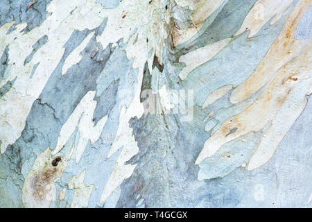 Eucalyptus pauciflora niphophila. Alpine snow gum tree bark - Stock Photo
